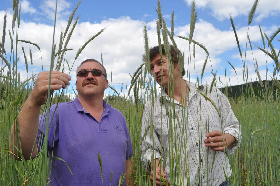 Daglig leder i Den Gode Baker, Kim Christoffersen, og daglig leder i Økologisk Spesialkorn, Anders Næss, på inspeksjon i svedjerugåkeren.