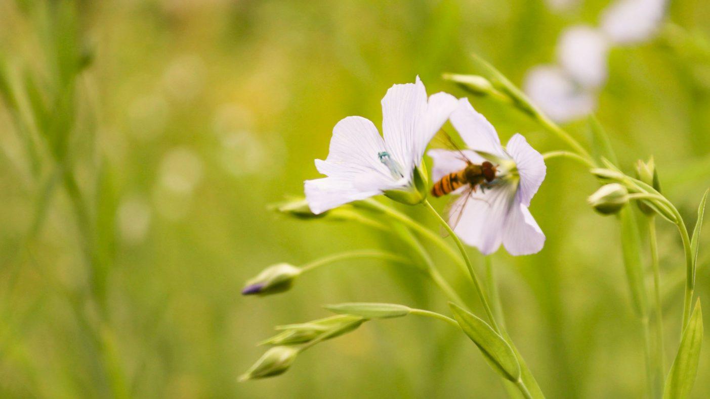 Linplanten har fine blomster som bier og<br />flere andre insekter trenger til pollinering.